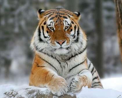 Tigre_siberiano_2